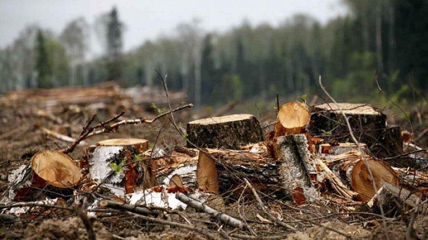 Штрафы за незаконную вырубку деревьев хотят значительно увеличить