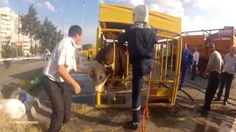 Рискованное шоу быков вЧелябинске: убежали невсе Сегодня в12:53