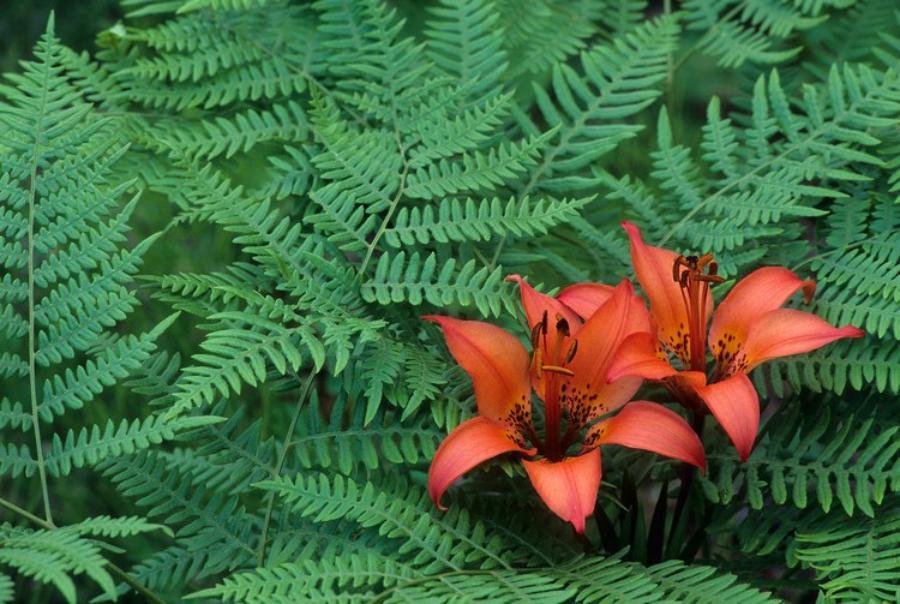 Какой цветок у папоротника