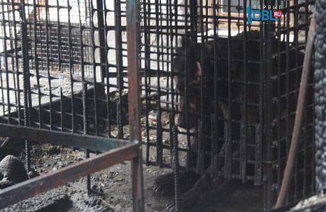 Генпрокуратура Троицка проверяет условия содержание медведя, пострадавшего впожаре вбане