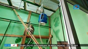 Живой репортаж — яванские макаки