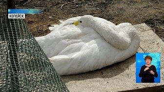 На пруду копейского храма поселились лебеди