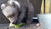 Найденному вЧебаркуле медвежонку нашли новый дом вХабаровске
