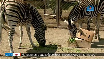 Живой репортаж — как живут зебры Анри и Зефирка