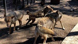 Видео из зоопарка: волки и лисы сбрасывают зимние шубы