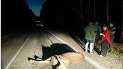 В ДТП на дорогах Челябинской области погибли два лося