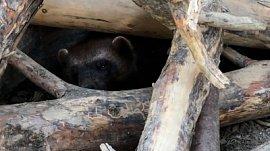 Росомаха из Челябинского зоопарка попала на видео, когда спасалась от жары