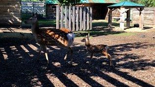 Первые шаги маленького пятнистого оленёнка попали на видео