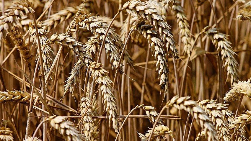 Из Челябинской области экспортировали 14 тыс. тонн семян зерновых и масличных культур