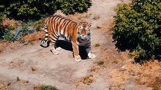 Амурская тигрица Лаффи позирует для летающей видеокамеры