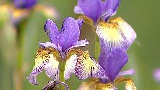 Как выбрать выносливые ирисы для своего цветника — видеорекомендации садоводам