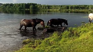 На пруду под Миассом сняли на видео спасающихся от жары лошадей