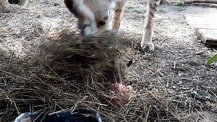 В Челябинском зоопарке мама-рысь закопала обедающего котенка