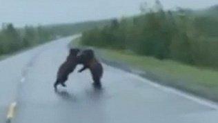 Двух дерущихся медведей заметили прямо на трассе