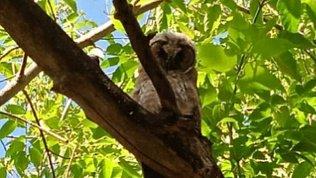 В Златоусте две совы мешают спать местным жителям