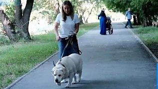 Лабрадору подыскивают хозяина, который будет следить за весом собаки