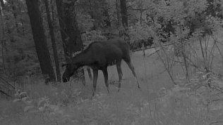 Задумчивого лося засняла фотоловушка в «Зигальге»