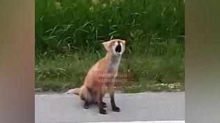 Странная лиса попала в объективы камеры под Каштаком