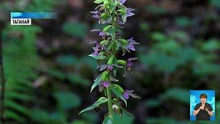 В нацпарке «Таганай» начали пересчет орхидей