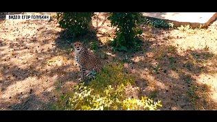 В челябинском зоопарке гепард следит за погодой