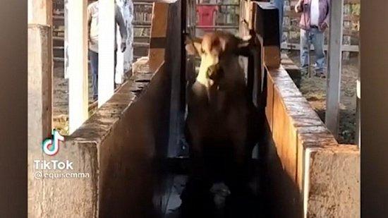 Мех и смех: напуганный кот, укус за язычок и прыгающая корова