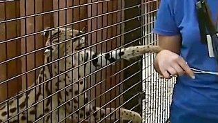 В Челябинском зоопарке сервал Симона не разрешает кормить других животных лакомствами