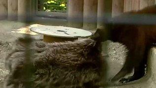 В Челябинском зоопарке хищникам раздали предметы для обогащения среды обитания