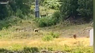 В Магнитогорске туристов напугало семейство медведей на территории ГЛЦ