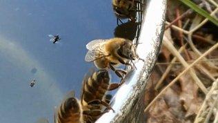 В Челябинской области из-за аномальной жары пчелы отправились на водопой