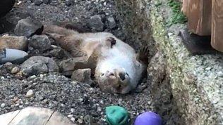 Выдра Маня из Челябинского зоопарка пытается проснуться