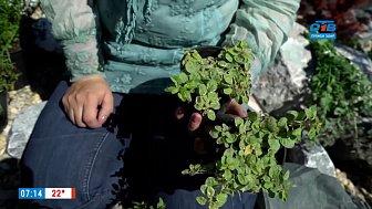 Пряные травы — ароматное украшение сада в рубрике «Руки садовода»
