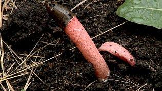 В Миассе обнаружили необычный краснокнижный гриб