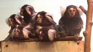 Обеспокоенных обезьянок засняли в Челябинском зоопарке