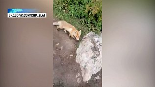 Туристы на Таганае встретили лисенка