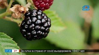 Ежевика — ягода будущего в южноуральских садах в рубрике «Руки садовода»