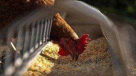 Птицепром Челябинской области получит федеральные субсидии на развитие генетики