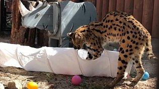 Челябинский зоопарк показал игры сервала Симоны