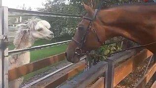 В Челябинском зоопарке альпака познакомился с лошадью