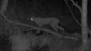 Фотоловушка в нацпарке «Таганай» засняла рысь на охоте