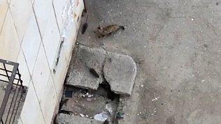 Крысы, заполнившие двор общежития в Миассе, попали на видео