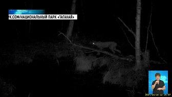 На Таганае рысь испугалась лося