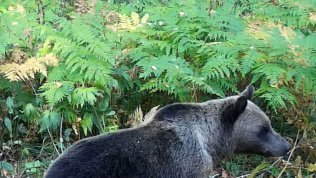 Фотоловушка на Таганае зафиксировала медвежью прогулку