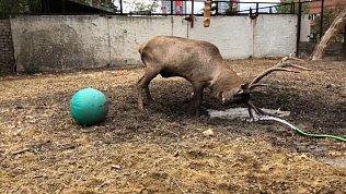 Грязевые ванны марала засняли в Челябинском зоопарке