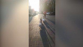 Мужчина выгуливает гусей по центру Челябинска
