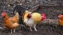 В Челябинске выявили очаги птичьего гриппа