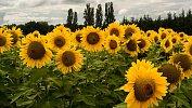 В Челябинской области увеличился урожай подсолнуха, кукурузы ирапса