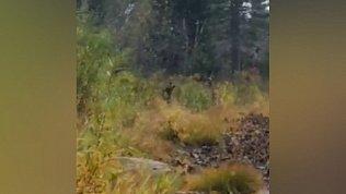 Видео встречи инспектора нацпарка «Зигальга» и медведя