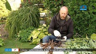 Деление пионов в рубрике «Руки садовода»