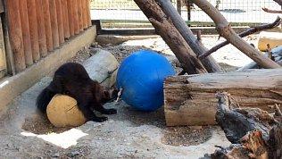 Росомаха по кличке Бира получила неожиданный подарок: видео из Челябинского зоопарка