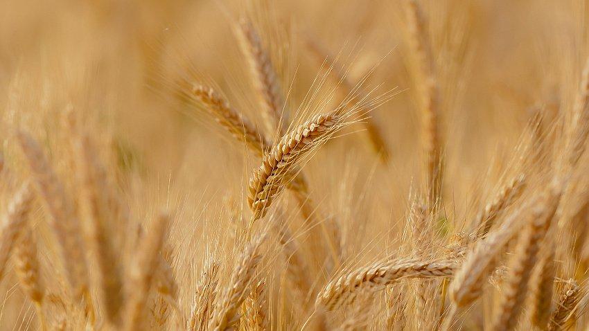 Производители Челябинской области ограничат экспорт пшеницы в Казахстан из-за дефицита зерна